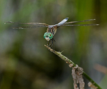 04: The Adult Dragonfly by Frank Gorga