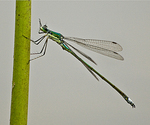05: The Adult Damselfly by Frank Gorga
