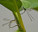 09: Ovipositing in Tandem by Frank Gorga